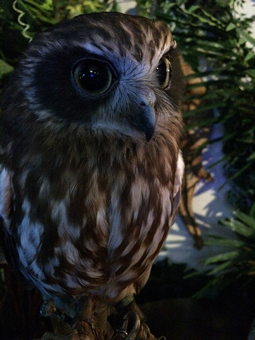 フクロウカフェ ニュージーランドアオバズク